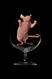 rat-sits-wine-glass-6557735