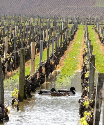 Ducks+vineyard2